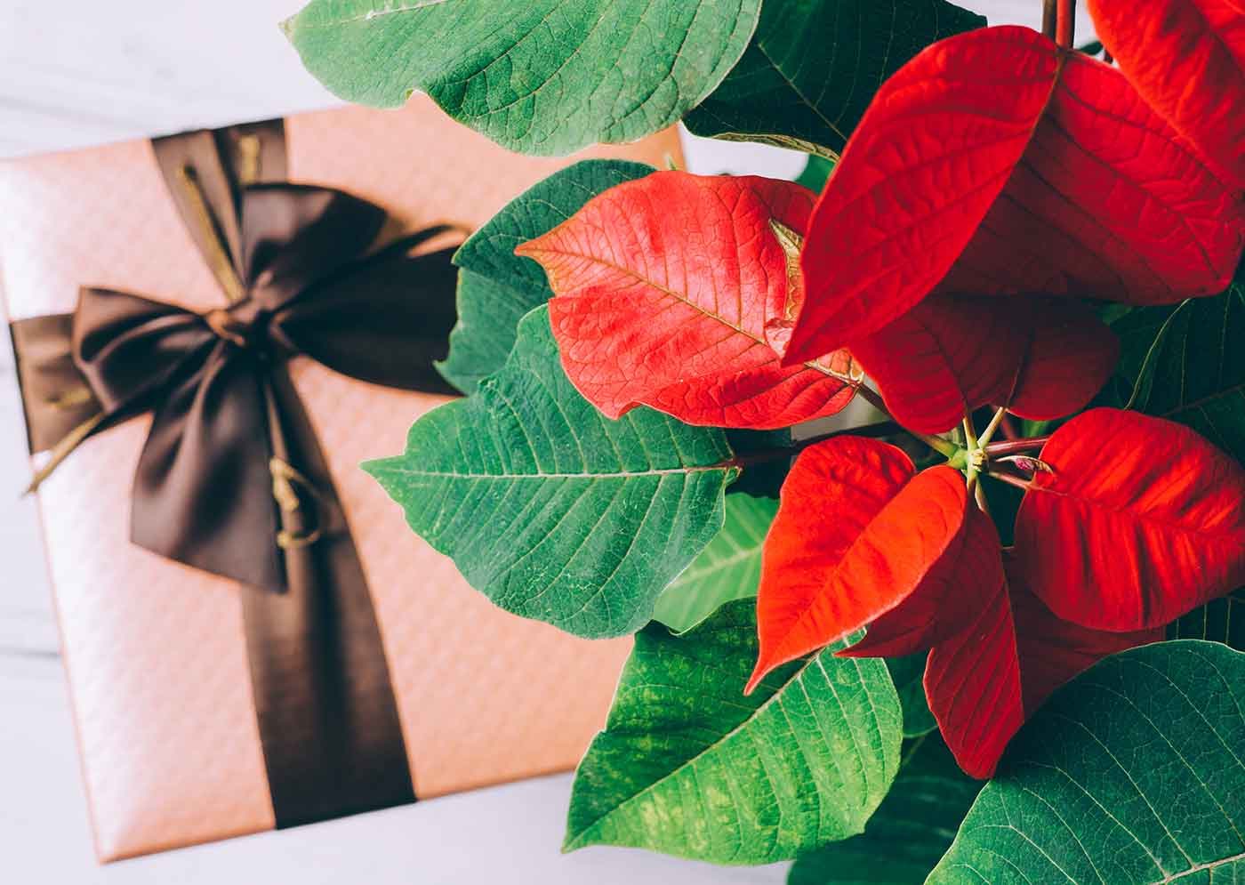 Flor de Pascua típica de Navidad