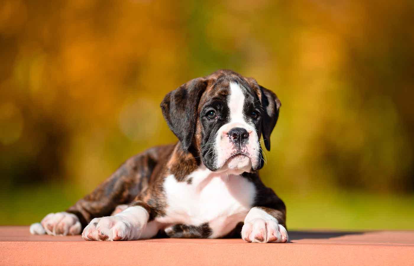 Los huesos son alimentos peligrosos para perros