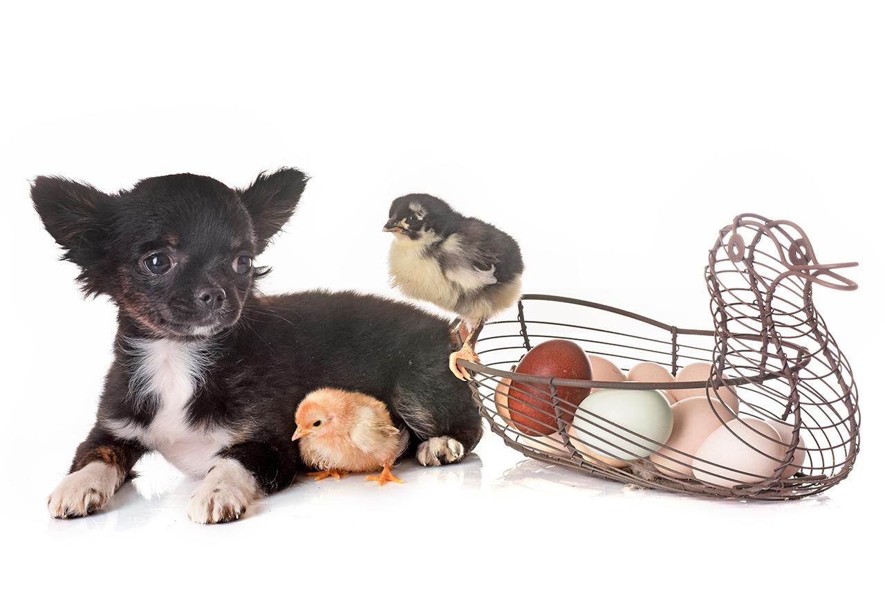 Los huevos quedan prohibidos para perros