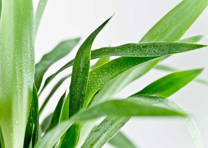 La planta yuca en decoración