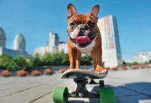 Raza Bulldog Francés