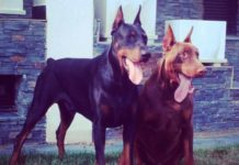 Don doberman negro y marrón