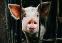 La activista vegana Rooney Mara se infiltra en granja industrial