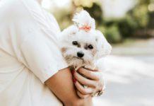 El Bichón Maltés es una raza de perro cariños ideal para pisos pequeños