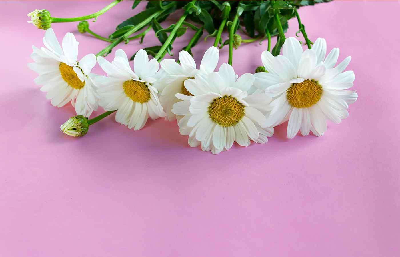 Las margaritas son flores que fácil cuidado
