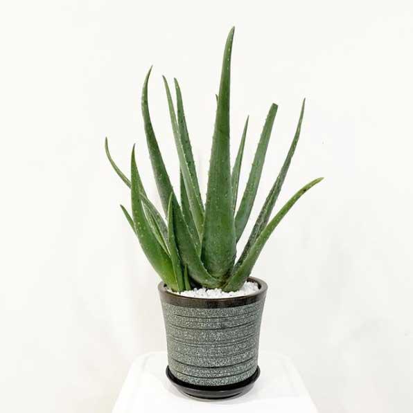Planta Aloe Vera idea para el interior del hogar