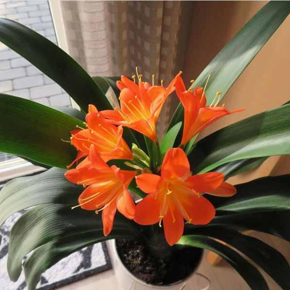 La planta para interior Clivia produce preciosas flores naranjas en primavera