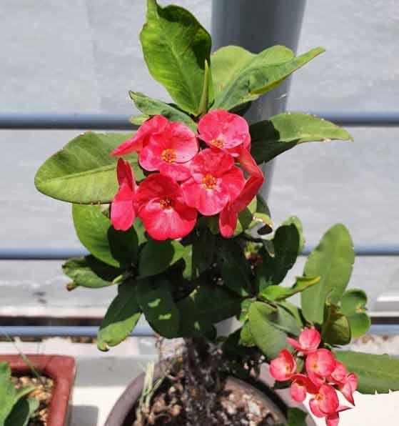 """La planta para interior """"Corona de Cristo"""" posee unas flores preciosas"""