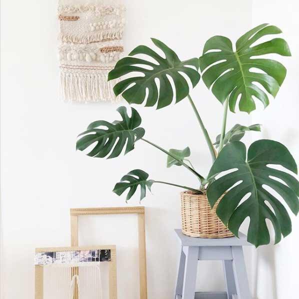 """La planta para interior """"Costilla de Adan"""" requiere de espacio para crecer"""