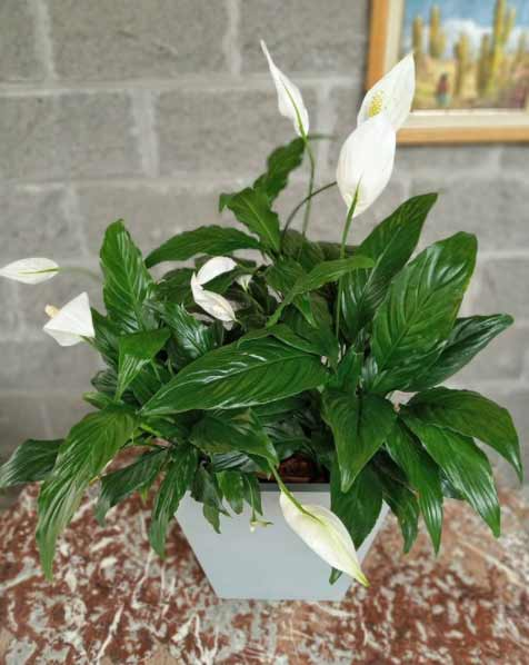 Planta de Interior con flores blancas llamada Espatifilo