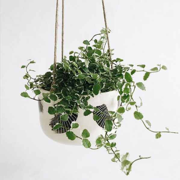 Preciosa planta para interiores llamada Ficus Pumila