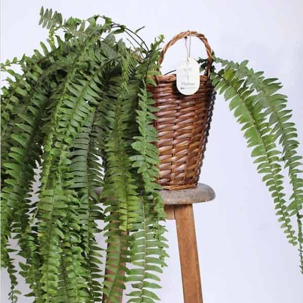 El helecho es una planta interior que destaca por la frescura que genera en el hogar