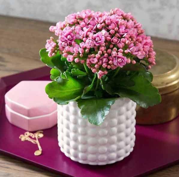 La planta de interior Kalanchoe es una de las más floreadas