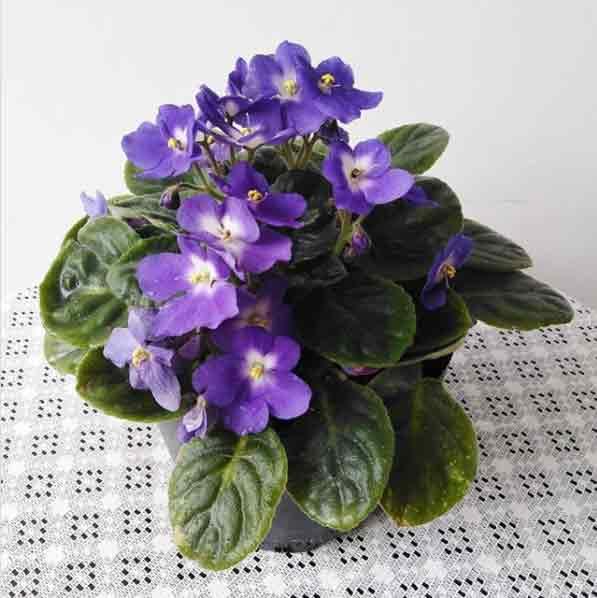 La Violeta Africana es una planta de interior que florece mucho en primavera
