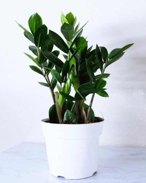 La Zamioculca es una planta de interior que resiste varios días sin regar