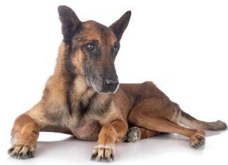 Pastor Belga Malinois, todo lo que tienes que saber de esta genial raza de perro