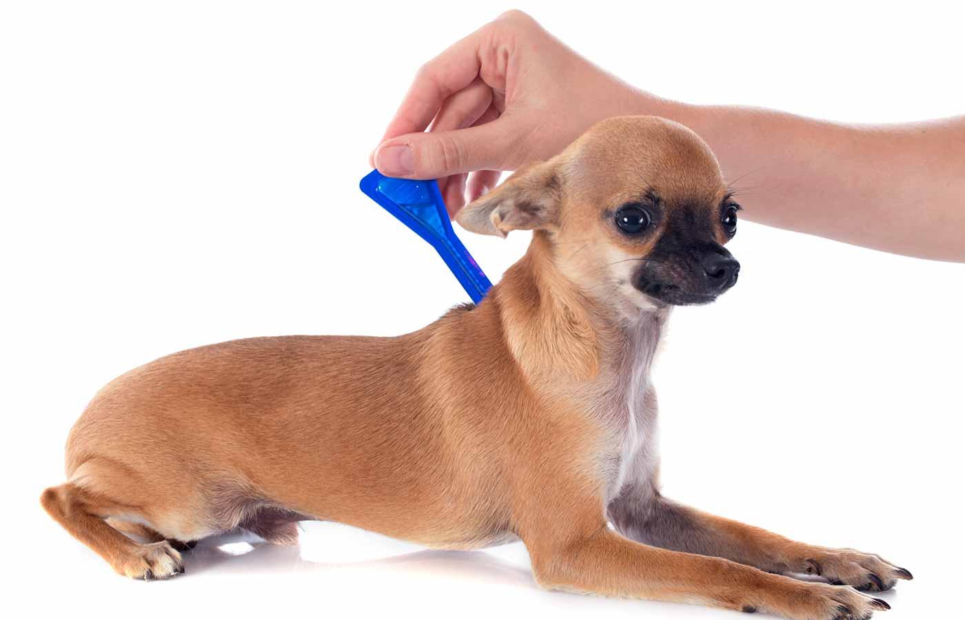 Perro de compañía antiparasitario con pipeta
